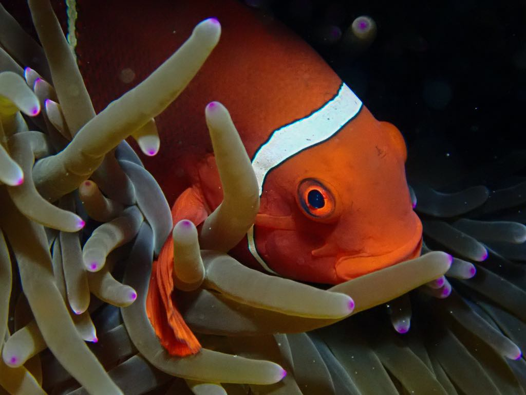 Anemone fish seen on a scuba diving trip on Bilikiki in the Solomon Islands