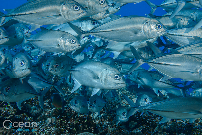 A big school of jacks while scuba diving in the Solomon Islands