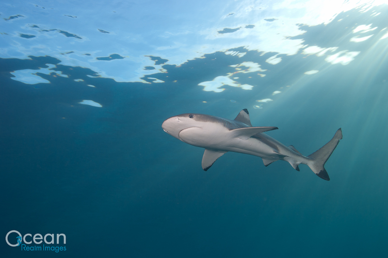 A black tip reef shark taken while scuba diving in the Solomon Islands