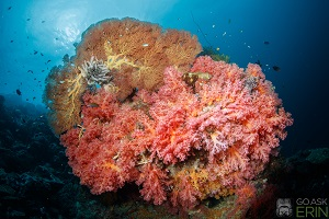 Best Dive Sites in the Solomon Islands - Soft Corals