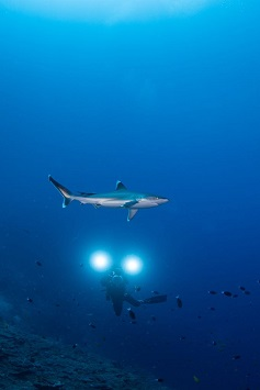 Best Dive Sites in the Solomon Islands - Silvertip Shark