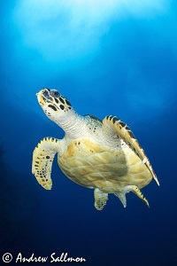Best Dive Sites in the Solomon Islands - Turtle at Mary Island
