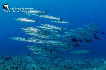 Best Dive Sites in the Solomon Islands - Barracuda
