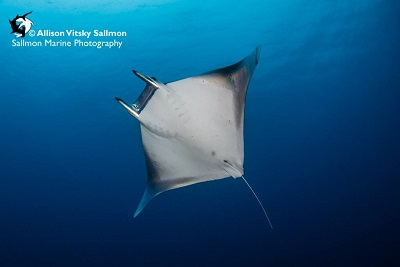 Best Dive Sites in the Solomon Islands - Devil Ray