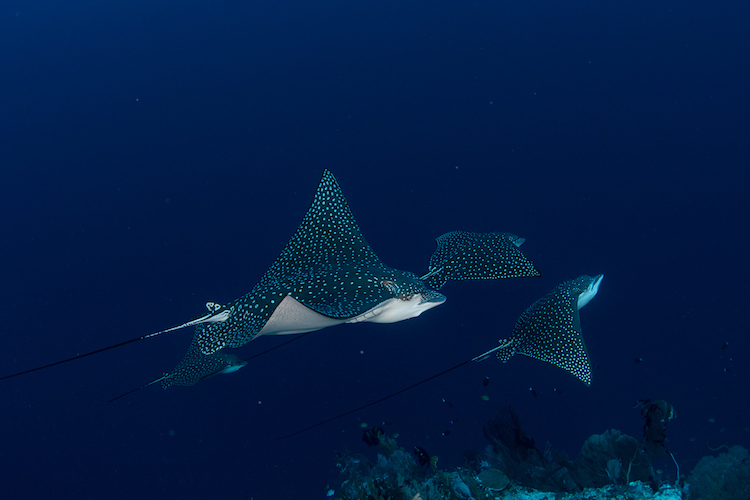 A beautiful eagle ray seen while scuba diving in the Solomon Islands.